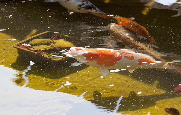 Gartenteich for Welche fische passen zu goldfischen im gartenteich